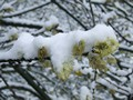 Snow Covered Buds